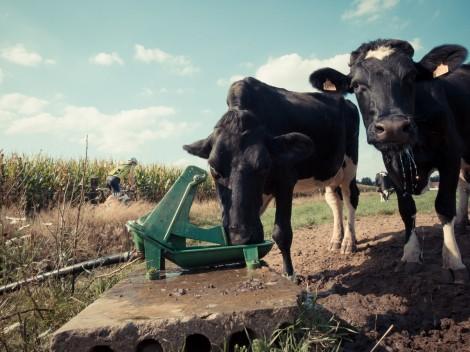 Cow-boy...